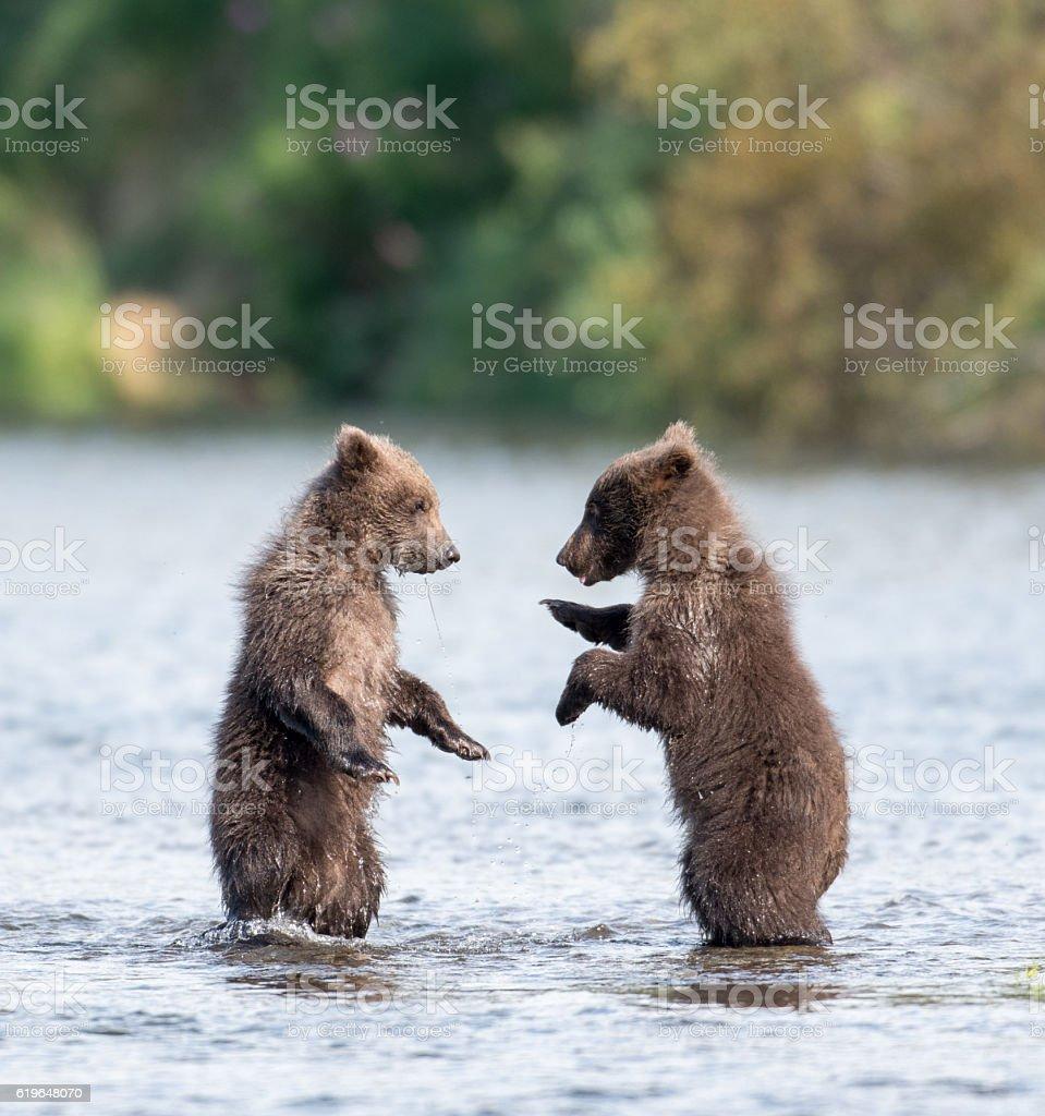 Two cute brown bear cubs playing photo libre de droits