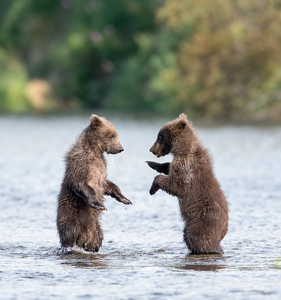 two cute brown bear cubs playing - ourson photos et images de collection