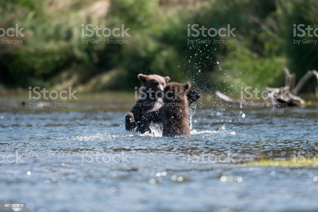 Two cute brown bear cubs playing stock photo