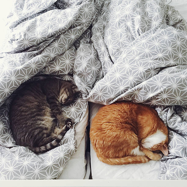 Two cute cats sleeping in bed picture id487632000?b=1&k=6&m=487632000&s=612x612&w=0&h=icluyx6trxzoozjpoua 5awn4bgo2kwgufcvxkxstia=