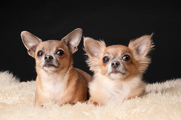 Two Cute Chihuahua Dogs Lying on Fur Rug Two Cute Chihuahua Dogs Lying on Fur Rug short haired chihuahua stock pictures, royalty-free photos & images