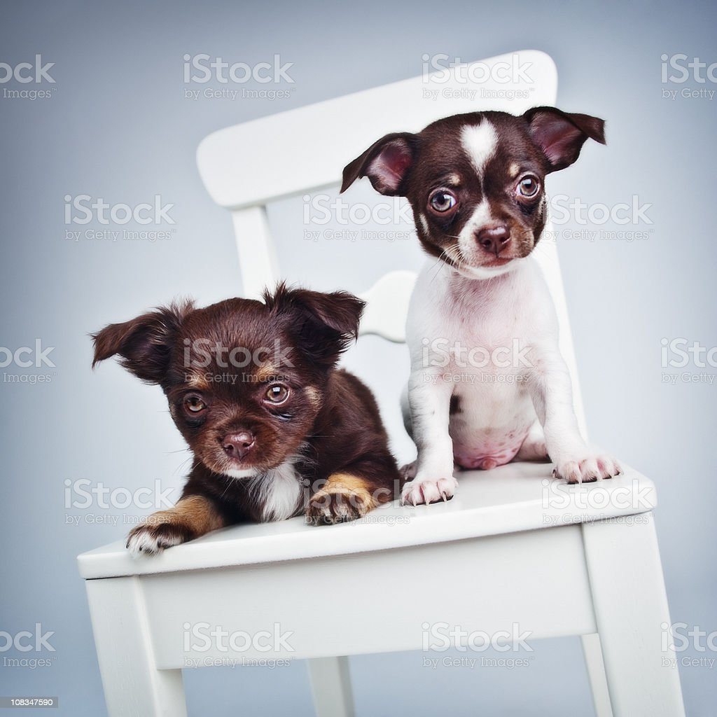 Two cute chihuahua puppies stock photo