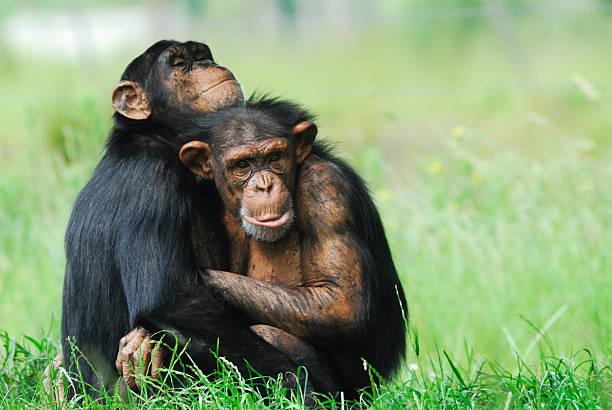 Zwei süße Schimpansen – Foto