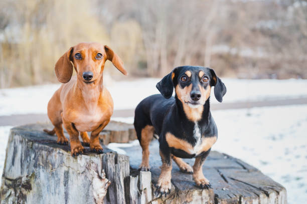 Two cute dachshund dogs outdoors. stock photo