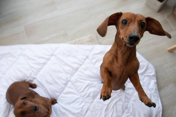 Two cute dachshund sits on white blanket and looking up picture id1162347981?b=1&k=6&m=1162347981&s=612x612&w=0&h=r42w4bezwrmlhs eb90tlpaazisf7ki2iakh1maesjk=