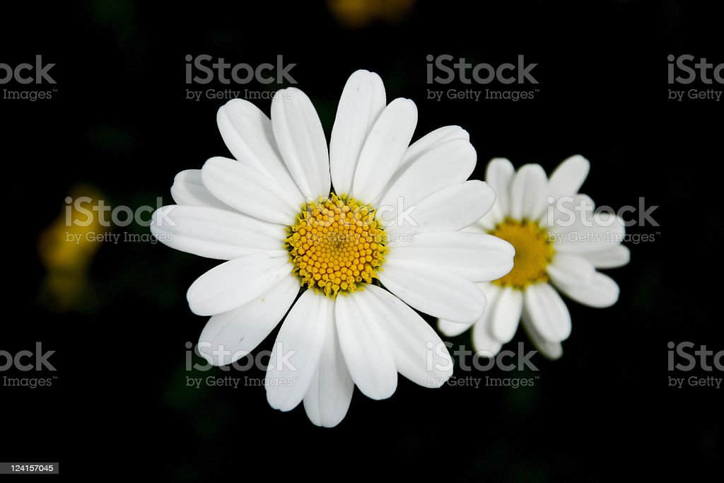 Two Cute Daisies Isolated on Black Background stock photo