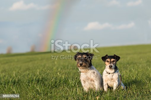 885056264istockphoto Two cute dogs are sitting in a meadow in front of a rainbow - Jack Russell Terrier 885056264