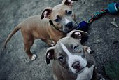 istock Two cute dogs with blue eyes 1249250784
