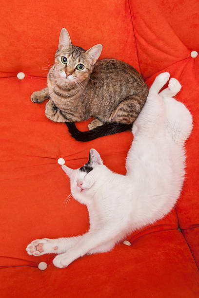 Two cute domestic cats lying on a sofa stock photo
