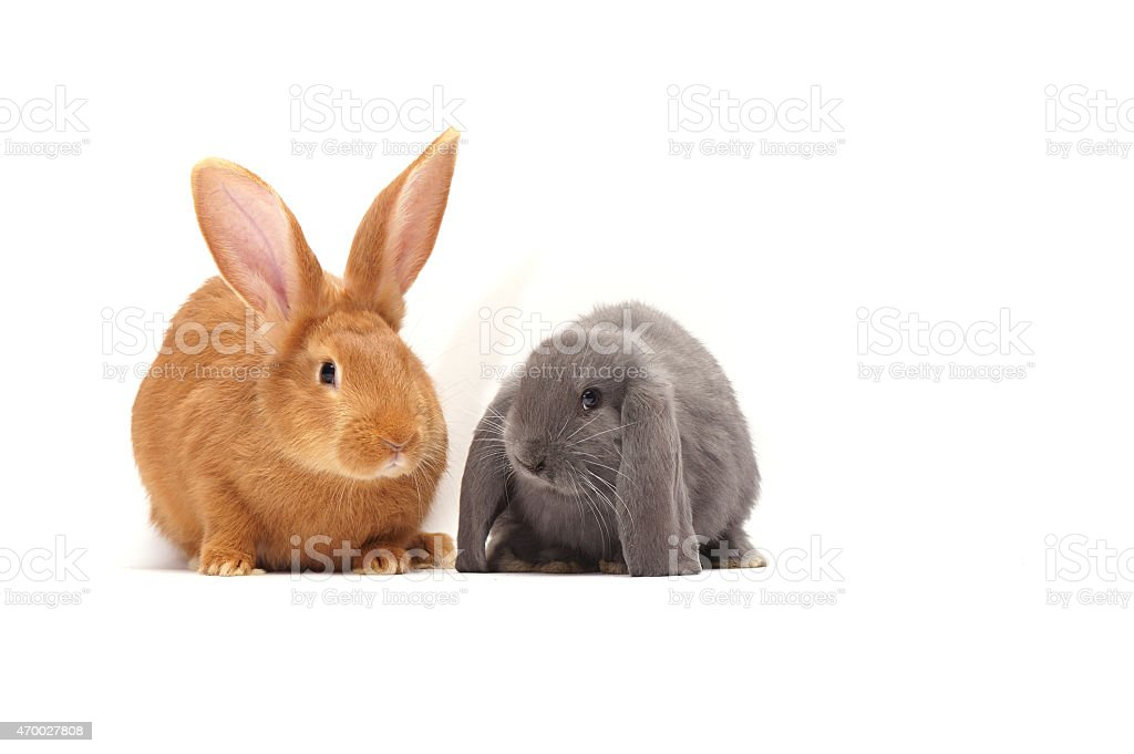 two cute Easter bunny isolated on white background stock photo