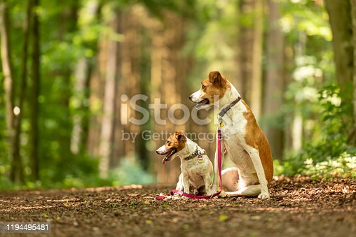 885056264 istock photo Two cute enchanting dogs are walking together without humans. Small Jack Russell Terrier doggy and a big mongrel hound 1194495481