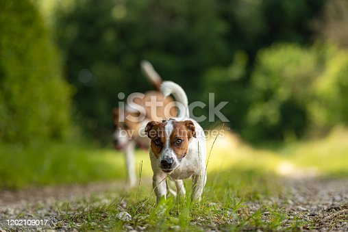 885056264 istock photo Two cute enchanting dogs are walking together without humans. Small Jack Russell Terrier doggy and a big mongrel hound 1202109017