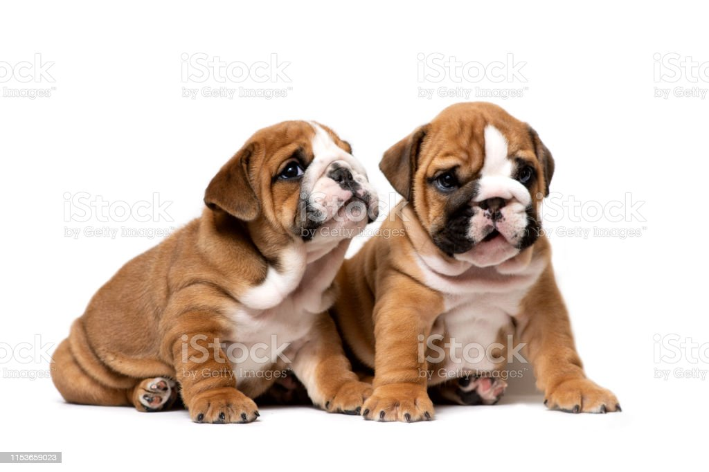 Two Cute English Bulldog Puppies Sitting Next Listening Carefully Isolated On A White Background Stock Photo Download Image Now Istock