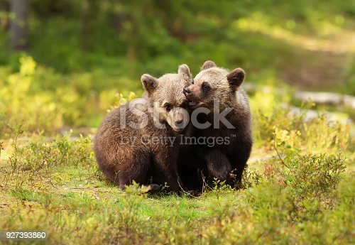istock Two cute Eurasian brown bear cubs play-fighting 927393860