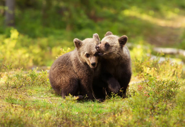 deux oursons mignons eurasienne brown bear jeu-combat - ourson photos et images de collection