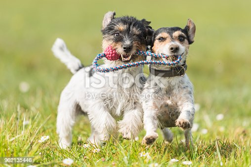 885056264 istock photo Two cute friendly dogs are playing with a ball - Jack Russell Terrier 962135446