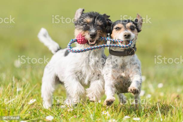 Two cute friendly dogs are playing with a ball jack russell terrier picture id962135446?b=1&k=6&m=962135446&s=612x612&h=txngjr94khvbpeynh5i2rlc4 jinawhkqn7ehu9ghvc=