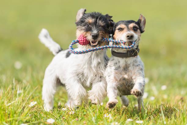 Zwei nette freundliche Hunde spielen mit einem Ball - Jack Russell Terrier – Foto