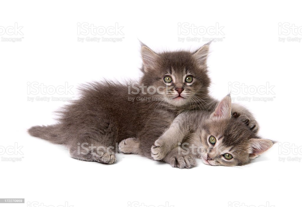Two cute gray kittens cuddling royalty-free stock photo