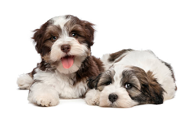 Two cute havanese puppies are lying next to each other picture id513396839?b=1&k=6&m=513396839&s=612x612&w=0&h=1ubvysb9pojdb dbdgjmxiqkzyfyh6fpxsznnjarvzs=