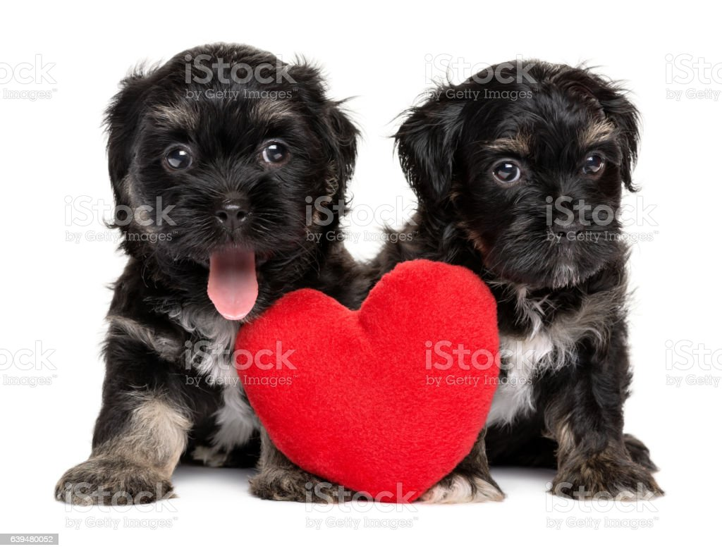 Two cute Havanese puppies sitting together with a red heart stock photo