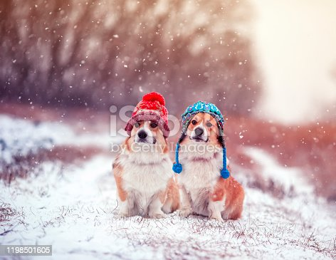 two cute identical brother puppy red dog Corgi sitting next to each other in the Park for a walk on a winter day in funny warm knitted hats during heavy snowfall