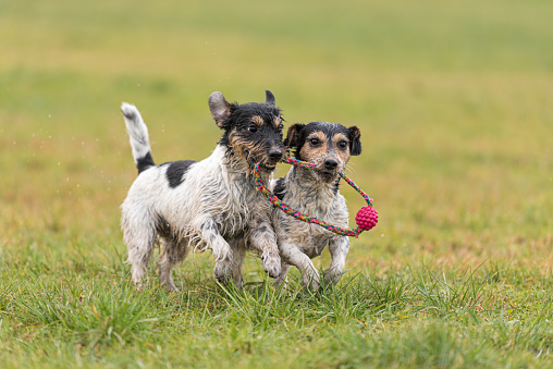 two cute Jack Russell Terrier dogs are playing and fighting with a ball in a wet meadow snowless winter and have a lot of fun.
