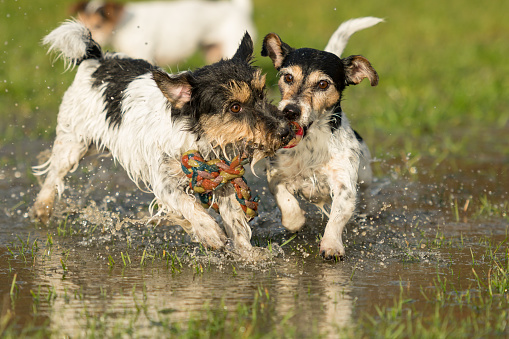 two cute Jack Russell Terrier dogs playing and fighting with a ball in a water puddle in the snowless winter.