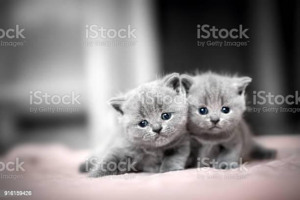 Two cute kittens cuddle each other british shorthair picture id916159426?b=1&k=6&m=916159426&s=612x612&h=vj5otdr1fdy8 jskr rg2sn5qb1t3 eutbfvtz3igz8=