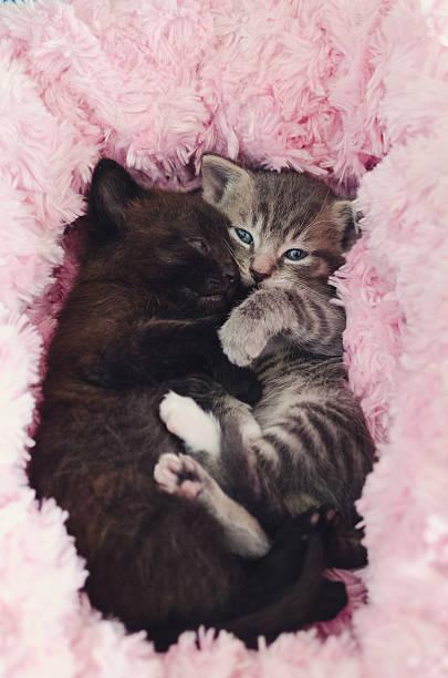 two cute kittens cuddling stock photo