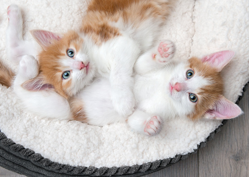 Looking down at two cute blue-eyed kittens sleeping in a white bed