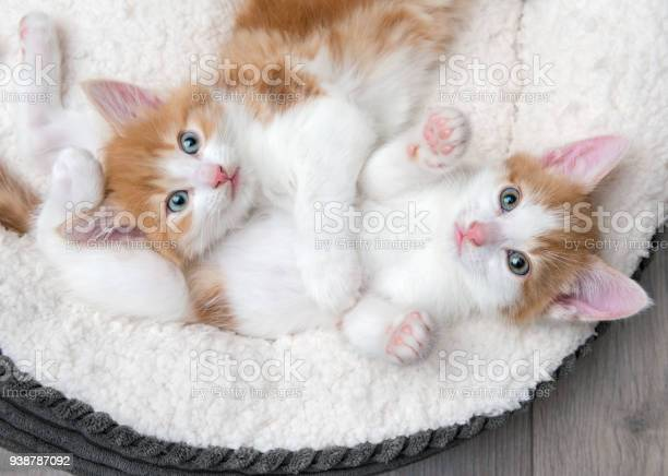 Two cute kittens in a fluffy white bed picture id938787092?b=1&k=6&m=938787092&s=612x612&h=xtsqemcjblc5zq0m6xapfm zwpfvm15lyrkvfzqnttc=