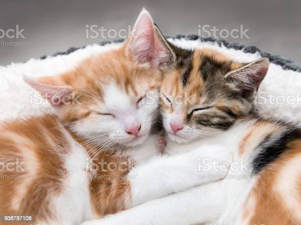 Two cute kittens in a fluffy white bed picture id938787108?b=1&k=6&m=938787108&s=612x612&h=4dnt0lpt5mvzkhxs8vraqcufs12jjrdqcr8qauzh0ii=