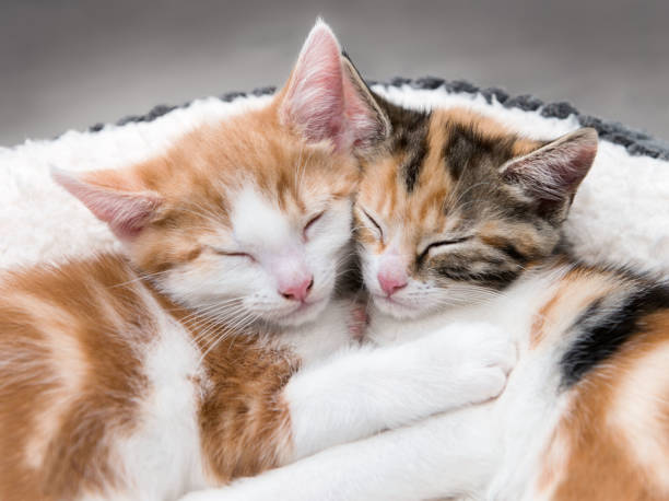 Two cute kittens in a fluffy white bed picture id938787108?b=1&k=6&m=938787108&s=612x612&w=0&h=1vrwf6ilp5dzpwsf0tea3sp2md5x4gg uf 6vgutdg8=