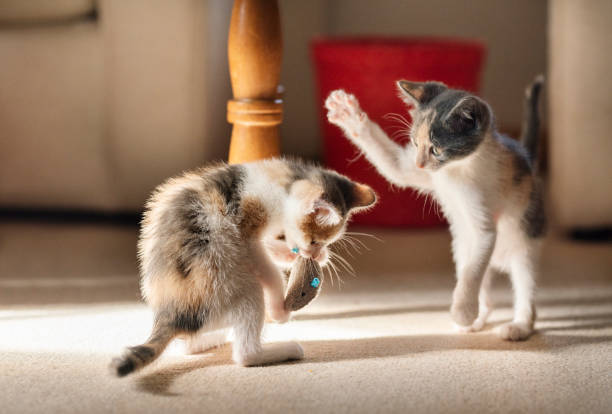 Two cute kittens play fighting with a toy at home picture id1283464169?b=1&k=6&m=1283464169&s=612x612&w=0&h=rdy4yftjcyd4qejgkjsdcvfpzyfudesxa2djmu1xl44=