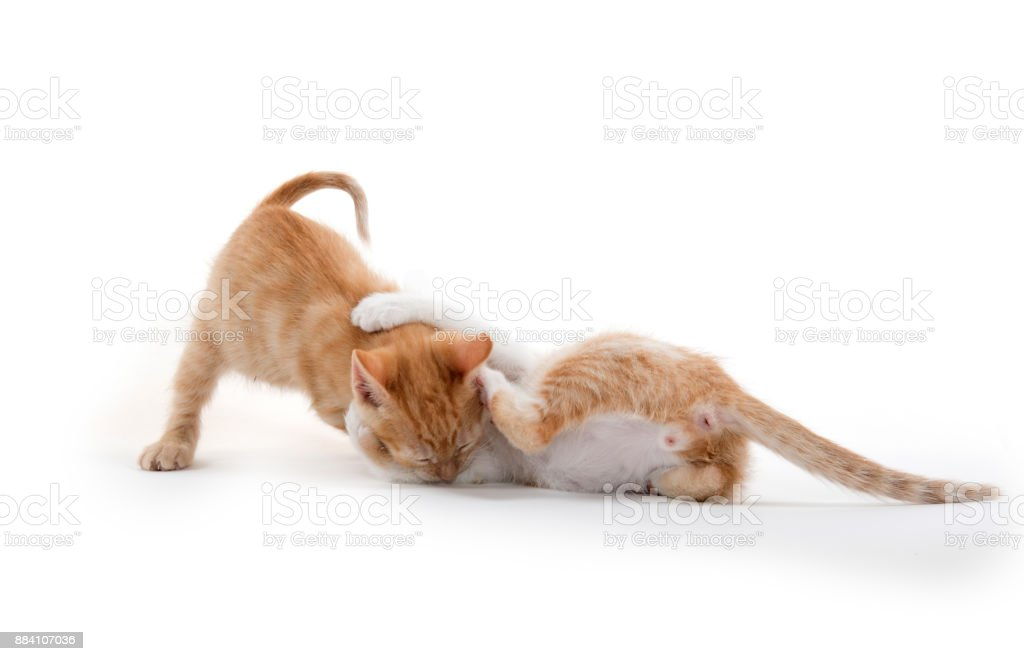 Two cute kittens playing stock photo