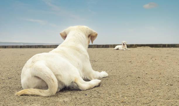 zwei niedliche Labrador Hundewelpen am Strand liegen – Foto