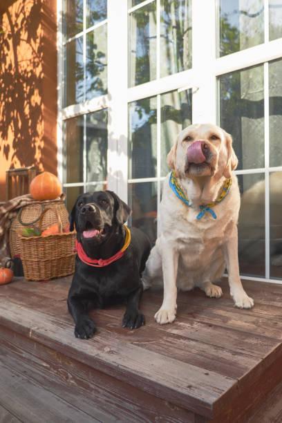 Two cute labrador retriever dogs sitting on porch picture id1057504572?b=1&k=6&m=1057504572&s=612x612&w=0&h=ygyllj5vwxhfidn7qeavvqvvky pbzukpdnb6az 6eq=