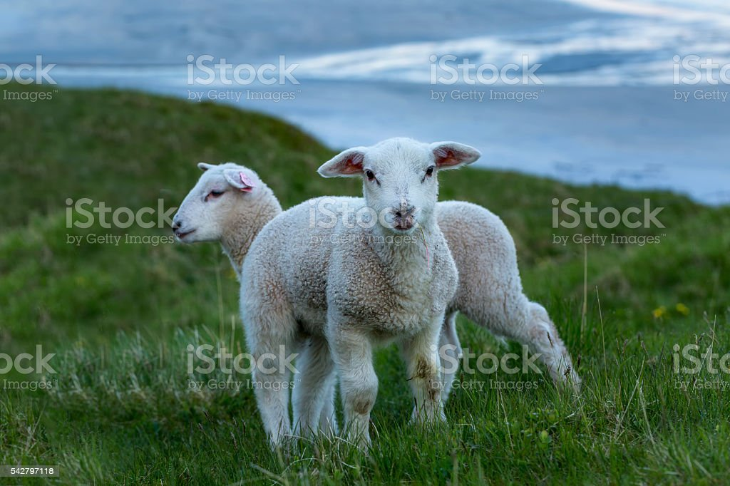 Two cute lambs on the green grass - Photo