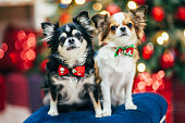 two cute little chihuahua dogs in bowtie sitting on padded stool christmas decor