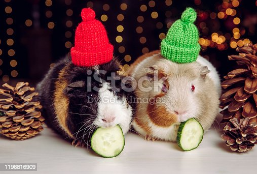 Two cute little Domestic guinea pigs (Cavia porcellus), also known as cavy or domestic cavy on Christmas lights background indoors in winter. Wearing warm winter hat. Pets health concept.