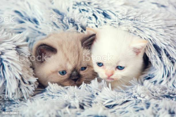 Two cute little kittens peeking out from under the soft warm fluffy picture id856136962?b=1&k=6&m=856136962&s=612x612&h=nviveyukygpdyoumsiqd63asbzb04hcj3bzlt5zzwfs=