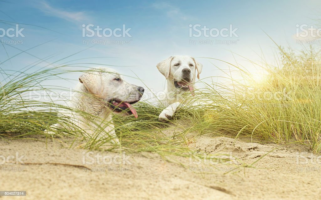 two cute little labrdor dog puppies on dunes at beach – Foto