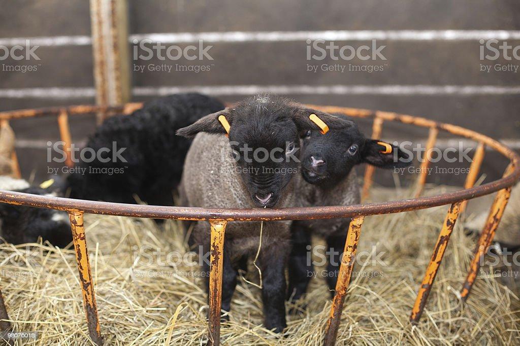 two cute newborn lambs royalty-free stock photo