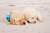 Photography of two beautiful newborn puppies, lying next to each other on a white wool floor carpet, with their heads turned to the right side. One dog is white, the other puppy is brown to cream color of fur, beige fur. The little dogs have blue ribbons. They are cuddling, almost in a hug. The beige background is wooden and blurred. The photo is bokeh. The shot is taken indoors, in a studio. The floor carpet, the rug is made of white wool. Excellent for greeting cards, memes, blogs, design, etc.