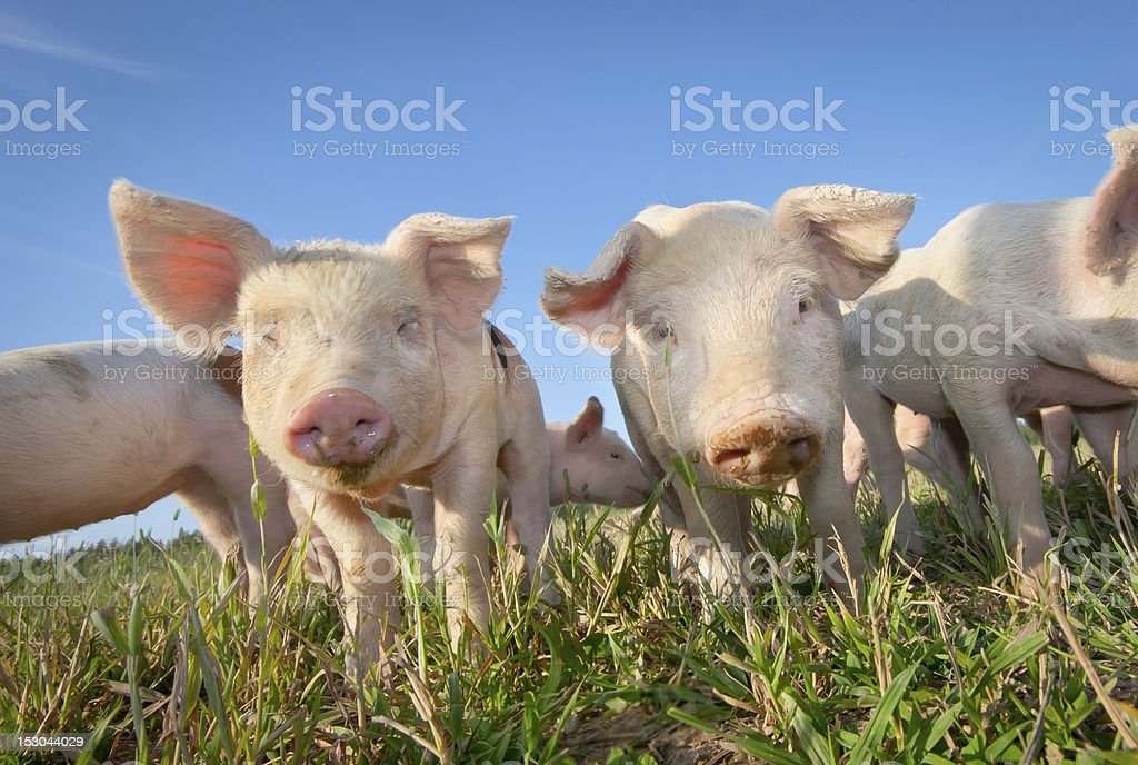 Two cute pigs stock photo