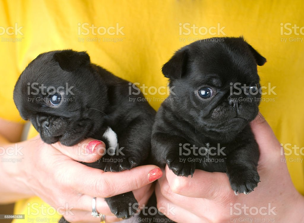 Two Cute Pug Puppies Stock Photo Download Image Now Istock