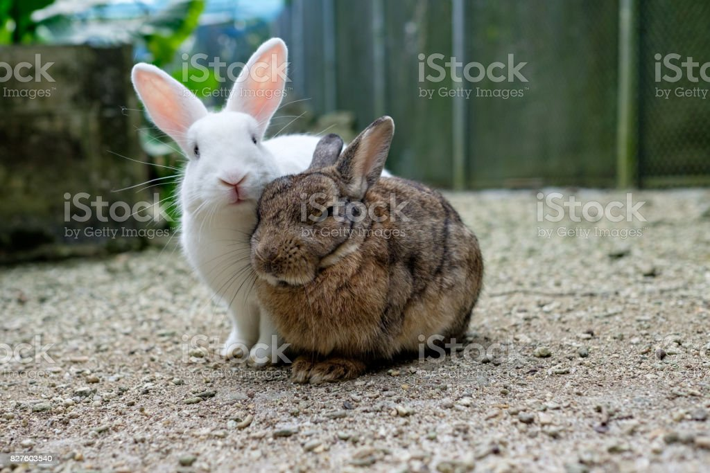 two cute rabbits on sand stock photo