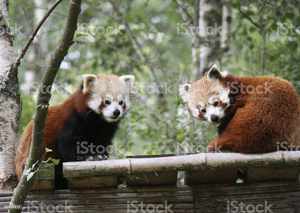 Zwei süße Kleine pandas Lizenzfreies stock-foto