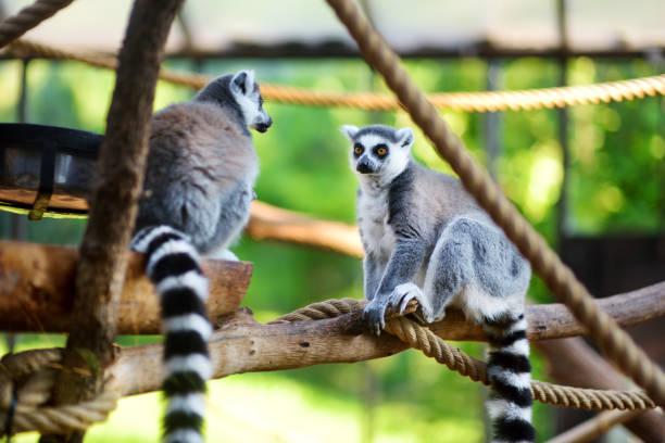 två söta ring-tailed lemurer sitter på en gren - lemur bildbanksfoton och bilder